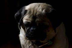 Lebens- 4 eines Pugs Stockbild