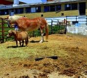 Lebensgroßes Pferd mit einem die Shetlandinseln-Pony Stockbilder