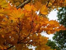 Lebenslauf Aureum Acers Shirasawanum Stockfotos