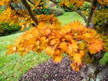 Lebenslauf Aureum Acers Shirasawanum Lizenzfreies Stockfoto