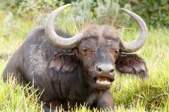 Lebensmittel-zeit- afrikanisches Büffel Syncerus-caffer Lizenzfreie Stockfotografie