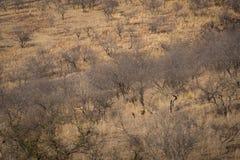 Lebensraumbild mit einem weiblichen Tiger und ihren drei neuen Jungen an Nationalpark Ranthambore Eine schöne Tigerin Noor und ih stockfotografie