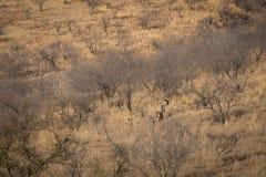 Lebensraumbild mit einem weiblichen Tiger und ihren drei neuen Jungen an Nationalpark Ranthambore Eine schöne Tigerin Noor und ih lizenzfreie stockbilder