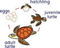 Lebenszyklus der Meeresschildkröte Reihenfolge von Entwicklungsstufen der Schildkröte vom Ei zum erwachsenen Tier vektor abbildung