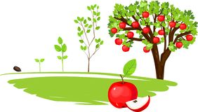 Lebenszyklus des Apfelbaums Stockfotografie