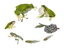 Lebenszyklus des europäischen Baumfrosches stock abbildung