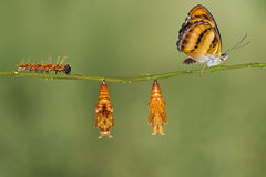 Lebenszyklus des Farb-segeant Schmetterlinges, der am Zweig hängt Lizenzfreies Stockbild