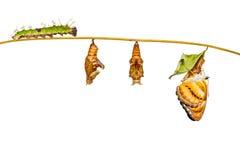 Lebenszyklus des Farb-segeant Schmetterlinges, der am Zweig hängt Stockfotografie
