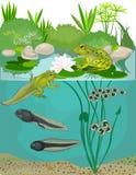 Lebenszyklus des Frosches Stockfoto