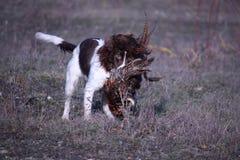 Leber und das weiße Arbeiten schreiben Spaniel-Haustierjagdhund des englischen Springers Lizenzfreie Stockbilder