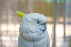Lebhaftes weißes Papageienschauen Lizenzfreies Stockfoto
