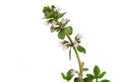 Lebiodka kwiat odizolowywający Zdjęcie Royalty Free