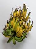 Lebmuernang banana. Isolated lebmuernang banana from my backyard Royalty Free Stock Image