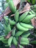 Lebmuernang-Banane Stockfotografie