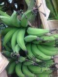 Lebmuernang-Bananenstaude-Grünblatt Stockbilder