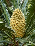 Lebombo Cycad Stock Photos