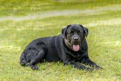 Lebra zwarte hond die op groen grasgras, gazon of tuin plaatsen royalty-vrije stock foto