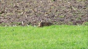 Lebre, coelho na natureza, easter video estoque