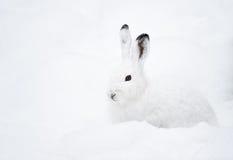 Lebre da montanha (lat. Timidus do Lepus) Imagem de Stock Royalty Free