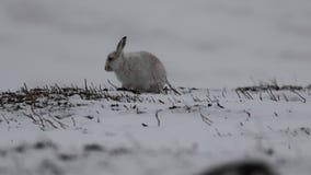 Lebre da montanha, timidus do Lepus, comer, riscando na inclinação coberto de neve no parque nacional do quartzo defumado, scotla video estoque