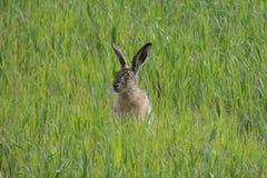 Lebre de Brown em sentar o campo verde Fotos de Stock