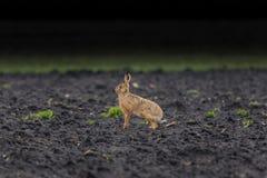 Lebre de Brown (lebre europeia, europaeus do Lepus) Imagens de Stock Royalty Free