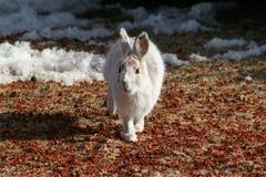 Lebre do Snowshoe Fotos de Stock Royalty Free