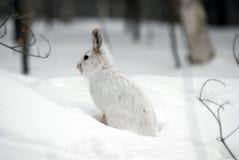 Lebre do Snowshoe Imagens de Stock Royalty Free