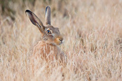 Lebre escondendo (europaeus do Lepus) Fotos de Stock