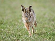 Lebre européia (europaeus do Lepus) Imagem de Stock Royalty Free