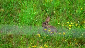 Lebre na grama verde, um chuveiro de chuva filme