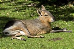 Lebre ou mara patagonian que descansam em um gramado verde sob o outono fotografia de stock royalty free