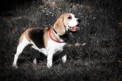 Lebreiro bonito do cachorrinho do cão Imagens de Stock