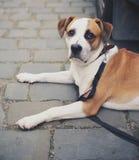 Lebreiro do cachorrinho Imagens de Stock Royalty Free