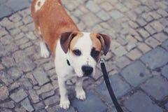 Lebreiro do cachorrinho Fotografia de Stock Royalty Free