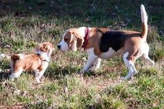 Lebreiro do cachorrinho e do cão Fotografia de Stock Royalty Free
