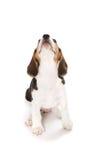Lebreiro do filhote de cachorro Fotografia de Stock