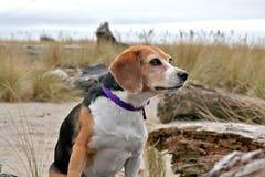 Lebreiro na praia, Oregon Foto de Stock Royalty Free