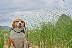 Lebreiro na praia, Oregon foto de stock