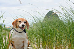 Lebreiro na praia, Oregon fotografia de stock