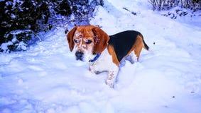 Lebreiro nevado Imagem de Stock
