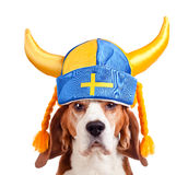 Lebreiro no chapéu sueco, isolado no branco Foto de Stock