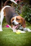 Lebreiro que joga com a bola de tênis no jardim Fotografia de Stock Royalty Free