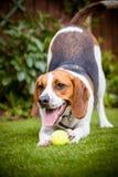Lebreiro que joga com a bola de tênis no jardim Fotos de Stock