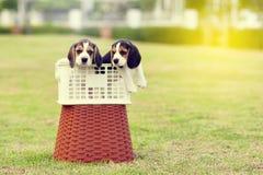 Lebreiros bonitos Fotos de Stock