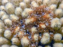 Branching anenome,Lebrunia danae. Lebrunia danae is a species of sea anemone in the family Aliciidae stock images