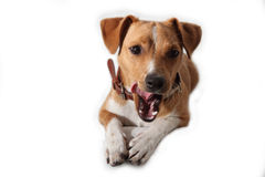 Leccatura del cucciolo Fotografia Stock