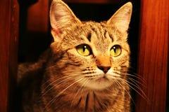Leccatura del gatto Fotografie Stock