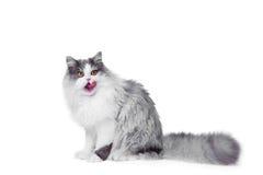 Leccatura del gatto persiano che si siede sul bianco isolato Fotografia Stock