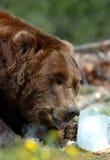 Leccatura dell'orso dell'orso grigio Immagini Stock Libere da Diritti